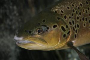 Fisch des Jahres 2013 - Forelle