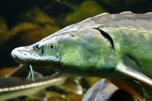 Stör - der Fisch des Jahres