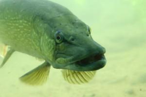 Fisch des Jahres : Hecht